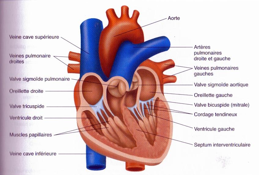Resultats De Recherche Dimages Pour Le Coeur